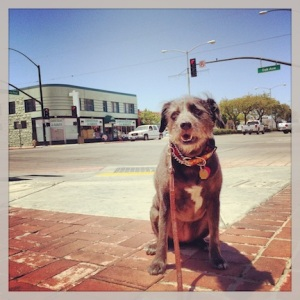 Trixie. Waiting for something to happen. Major intersection.Greenfield, CA