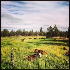On the way out of Smith Rock State Park, caught some cows sittin' down on the job.