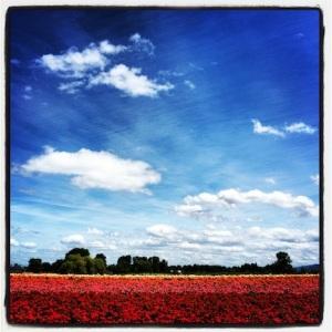 Flower fields on Sauvie Island, Oregon