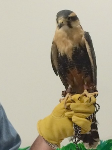 Northern Aplomado Falcon @ the World Center for Birds of Prey