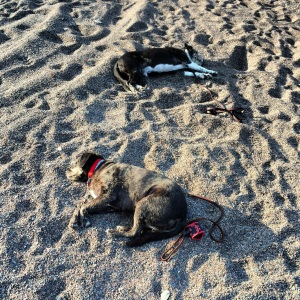 The dogs are exhausted, and crash out on the beach